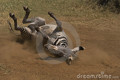 Zebra Lying on a back