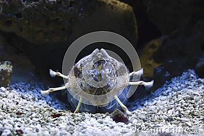 Zebra mantis shrimp