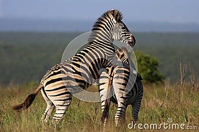 Zebra Mating Royalty Free Stock Photos - Image: 24078638
