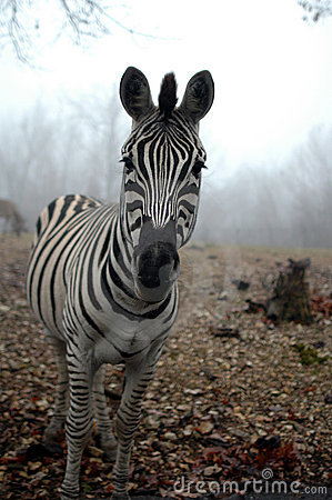 Zebra In The Mist