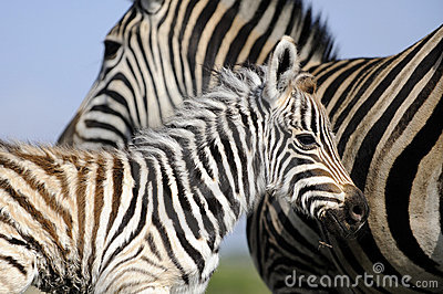 Zebra mom and baby