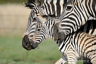 Zebra mom, dad and baby