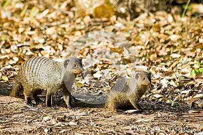 Zebra Mongoose