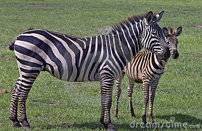Zebra mother with calf in Lake Manyara, Tanzania