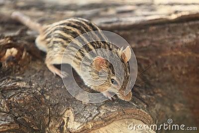 Zebra mouse