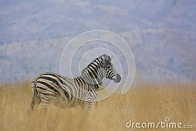 Zebra in natural habitat