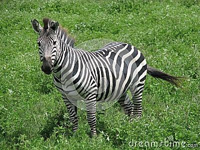Zebra (Ngorongoro, Tanzania)