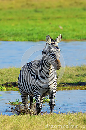 Free Zebra On Grassland In Africa Royalty Free Stock Photo - 87774175