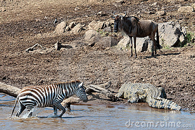 Zebra out of the river and moves directly to the c