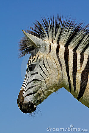 Free Zebra: Plains Zebra Portrait, South Africa Royalty Free Stock Photo - 3372505