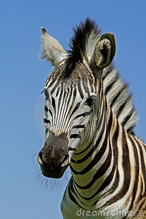 Zebra: Plains Zebra portrait, South Africa