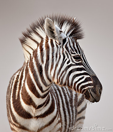 Free Zebra Portrait Stock Images - 12429084