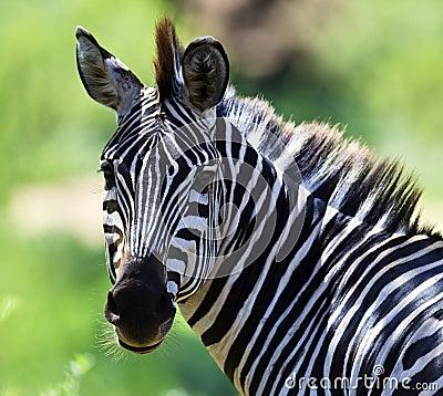 Zebra, Portrait
