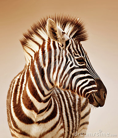 Free Zebra Portrait Royalty Free Stock Images - 15875519