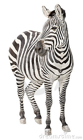 Free Zebra Pregnant Front View Looking Cutout Royalty Free Stock Photos - 14805178
