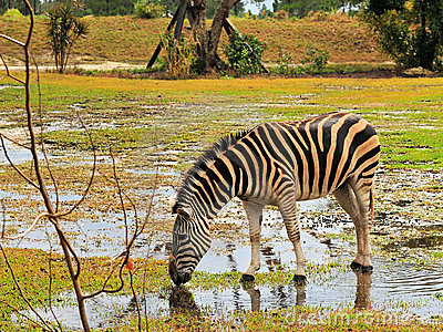 Zebra After the Rain