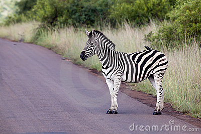 Zebra on road