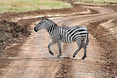 Zebra on road