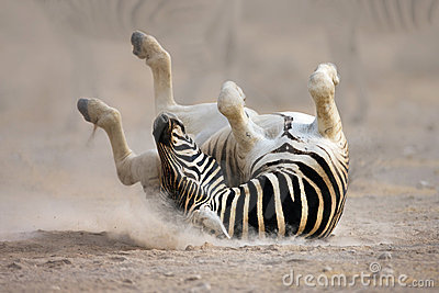 Zebra rolling