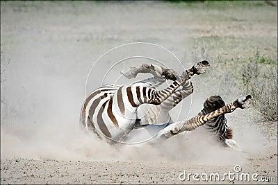 Zebra rolling in the dust.