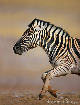 Free Zebra Running Stock Photos - 15215993