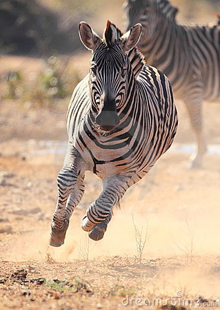 Zebra running scared from Lions