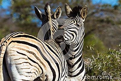 Zebras Affections Wildlife
