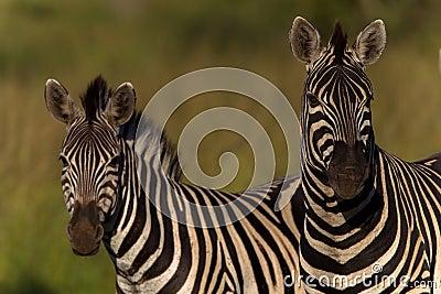 Zebras Alert Wildlife