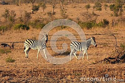 Zebra in Sabi Sands