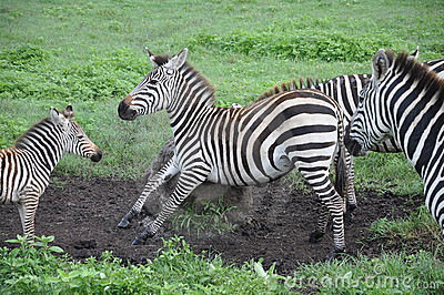 Zebra on scratching rock