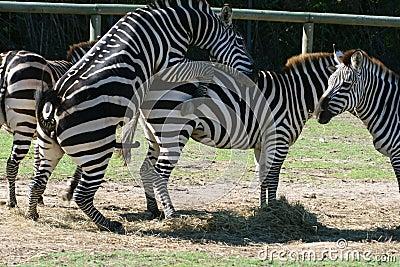 Zebra sex