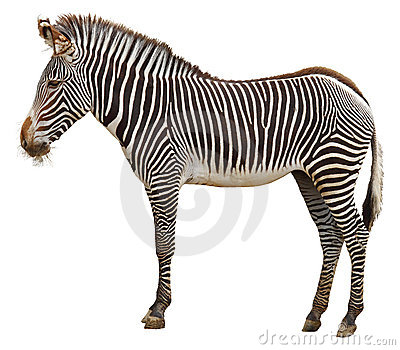 Zebra side view