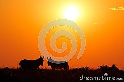 Zebra silhouettes