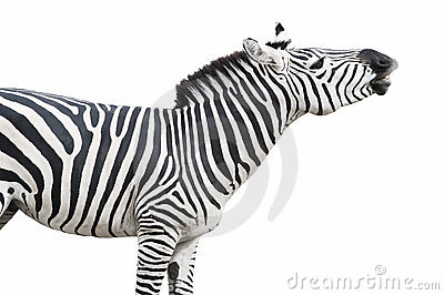 Zebra singing isolated over wh