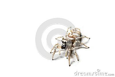 Zebra spider, isolated
