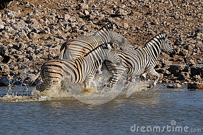 Zebra stampede, Okaukeujo waterhole