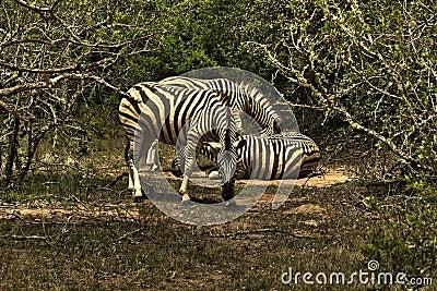 Zebra staring