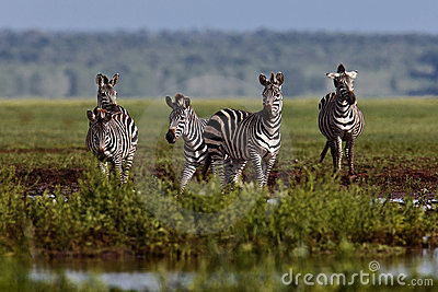 Zebra stopped at the water
