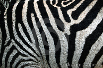 Zebra Strip. Zebra Stripes Pattern Texture