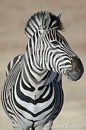 Free Zebra Study. Royalty Free Stock Images - 1058579