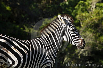 Zebra in the sun