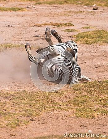 Zebra taking dust bath