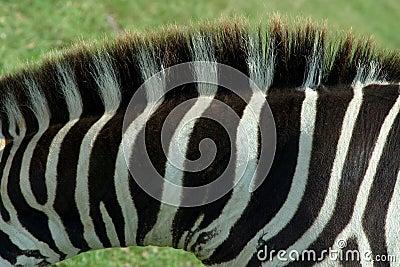 Zebra Texture 1