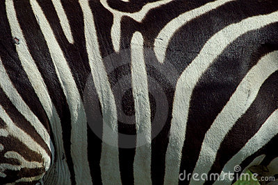 Zebra Texture 2