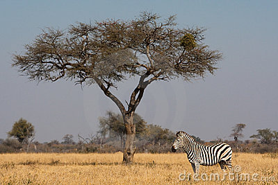 Zebra and tree