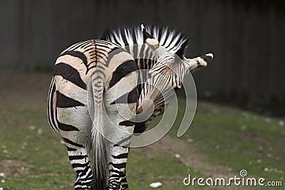 Zebra turning his head