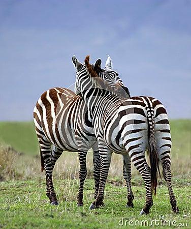 Zebra-Umarmung