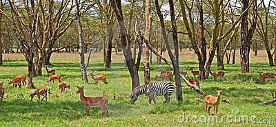 Zebra und Grants Gazelle