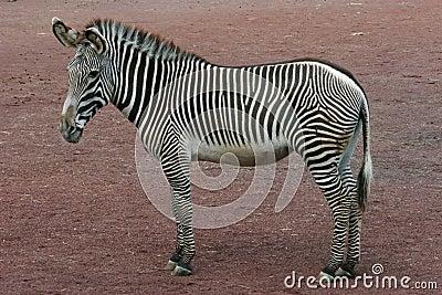 Zebra (whole)