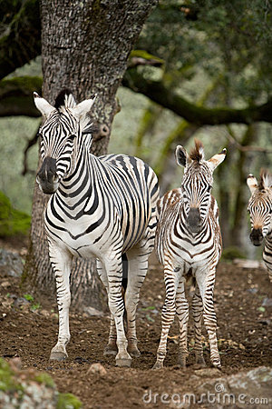 Zebra in the wild